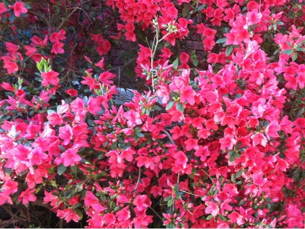 Vibrant azaleas come into bloom just in time for the annual Columbus Pilgrimage